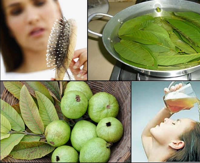 Bài thuốc trị rụng tóc, mọc tóc hiệu quả từ lá Ổi 4